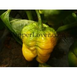 Trinidad yellow 7pod original strain