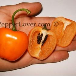 Orange Rocoto