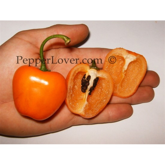 Orange Rocoto