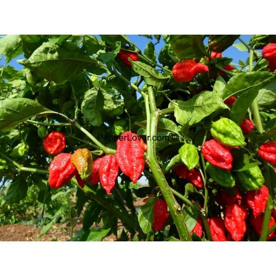 Dorset Naga Red
