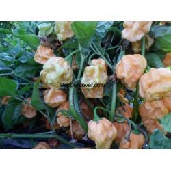 Honey 7 Pod Prolific Low Plant