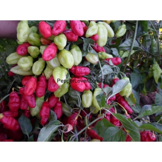 Large Trinidad Beans