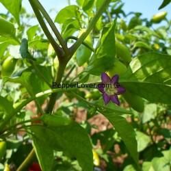Purple Flower Baccatum