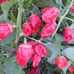 Bubblegum Red Prolific plant