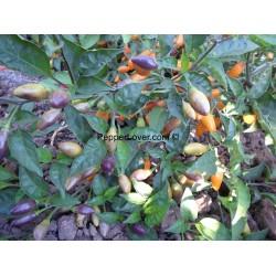 Amazon Golden Olives