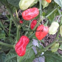Bahamian Long red Habanero