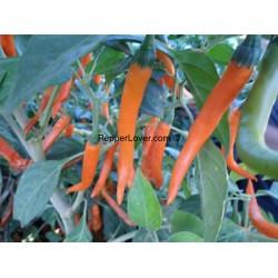 Orange Cayenne