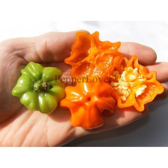 Orange Starfish (PL)
