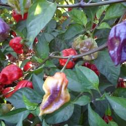 Purple Perfume Naga Bush