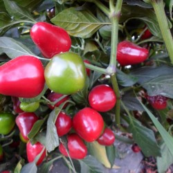 Cherry Jalapeno