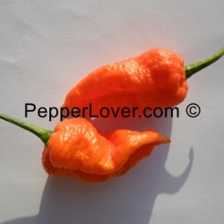 Naga X Orange Bhut