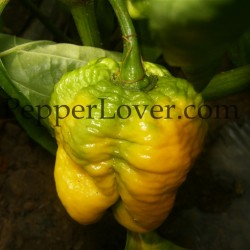 Trinidad yellow 7pod original strain