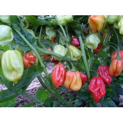 Caribbean Red Scotch Bonnet