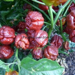 Chocolate Moruga Sunrise BEST