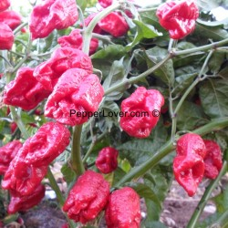 Large Red 7 Pod