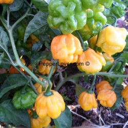 MOA Yellow Scotch Bonnet