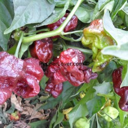 Monster Brown Moruga