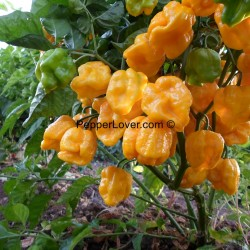 Monster Yellow Moruga