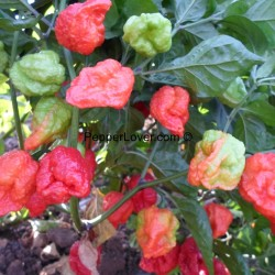 Moruga Scoprion Red Flat Head
