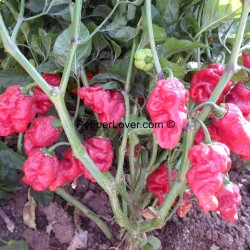 Moruga X Monster Naga Red