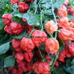 Red Moruga X Red Caribbean Scotch Bonnet