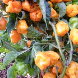 Small Yellow Scotch Bonnet
