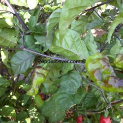 Purple Red Bhut Jolokia
