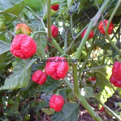 Moruga Scorpion Red (Prolific Strain)